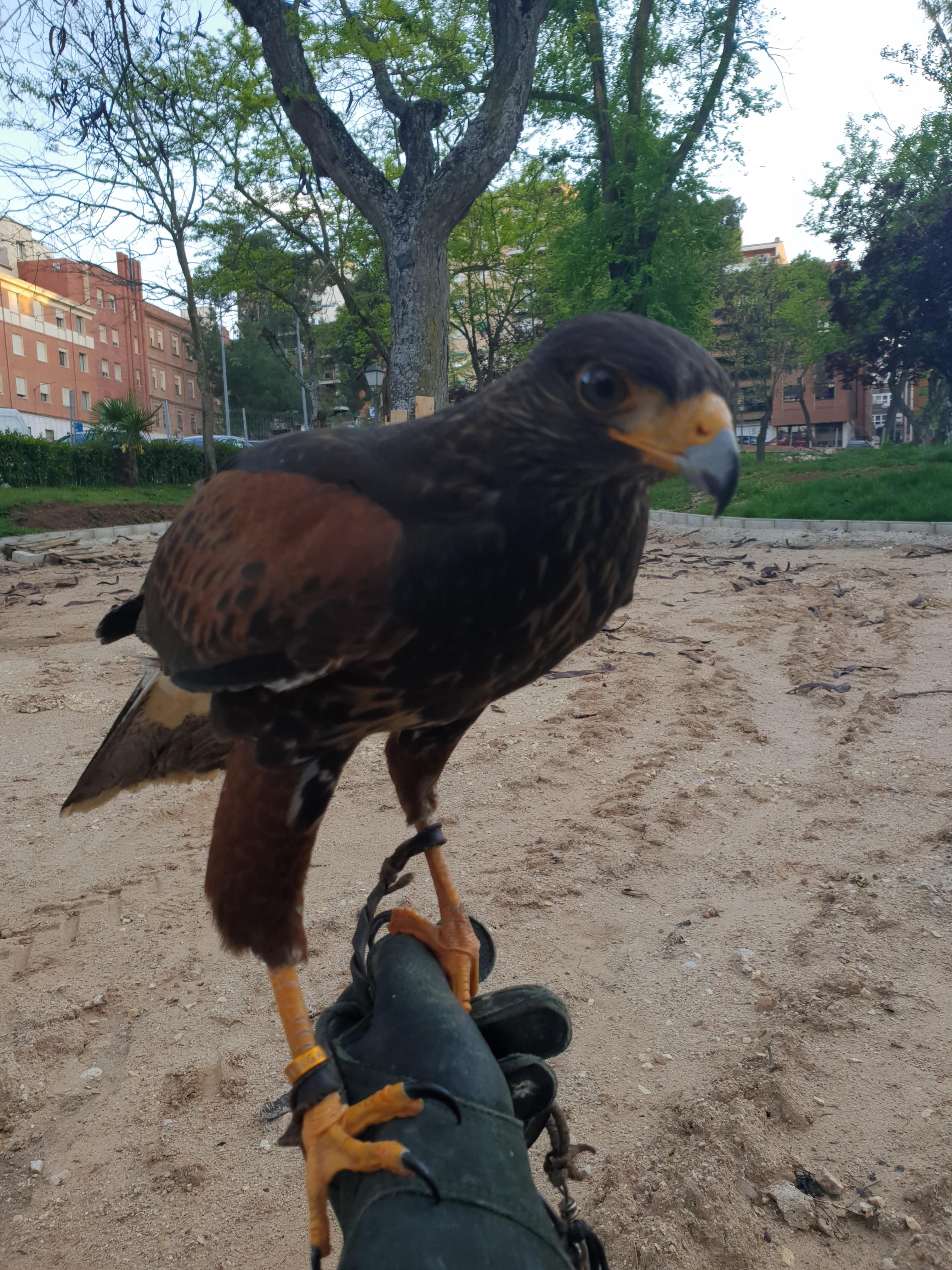 Vuelos  disuasorios con aves rapaces  para ahuyentar a las palomas
