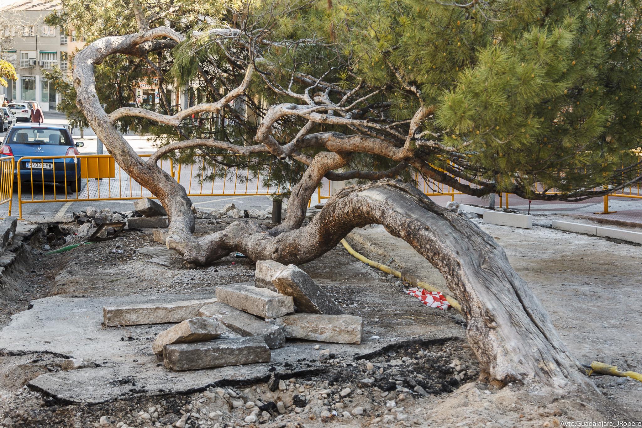 """El entorno  del  """"pino tumbado"""" de la Concordia,  objeto de varias actuaciones para  realzar la singularidad y el valor  del famoso árbol"""